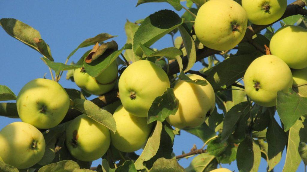 белый налив яблоня описание
