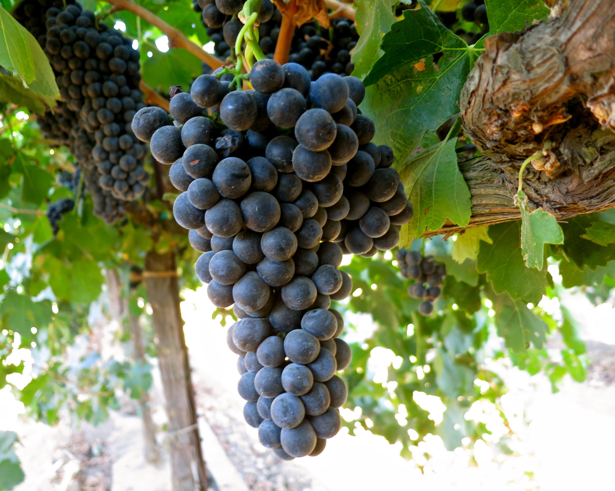 виноград альфа описание сорта фото что астероид