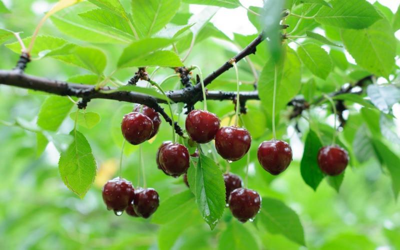 вишни устойчивые к коккомикозу