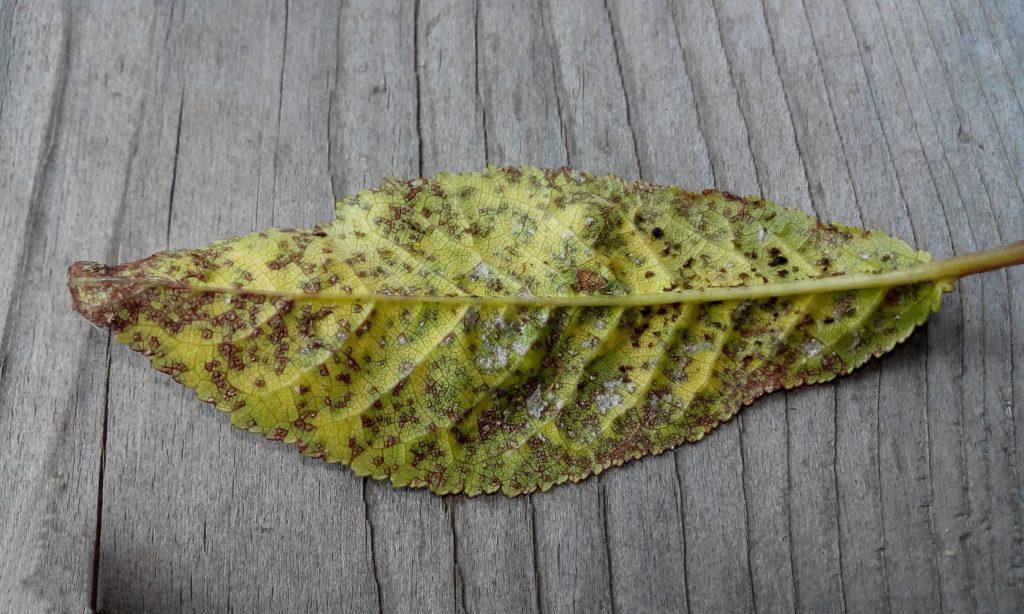 вишня сорта устойчивые к коккомикозу
