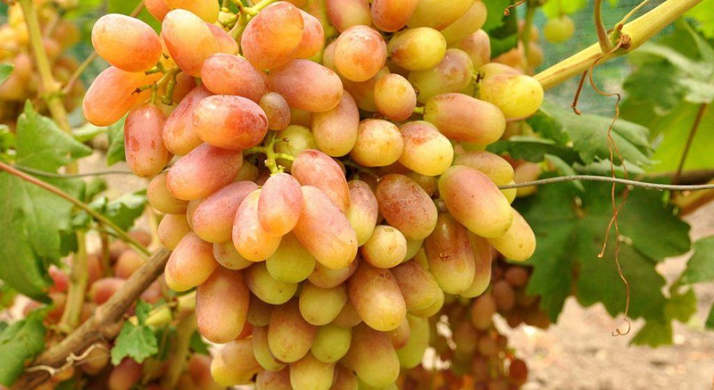 виноград юлиан описание сорта