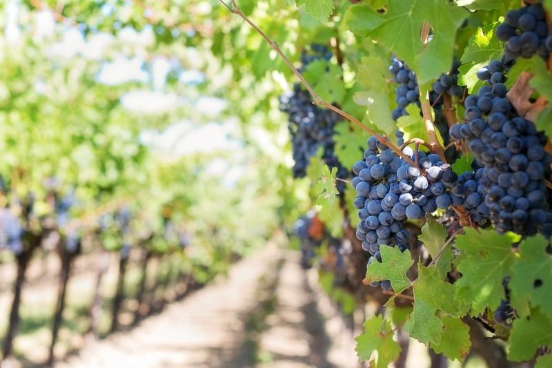 прививка винограда весной сроки