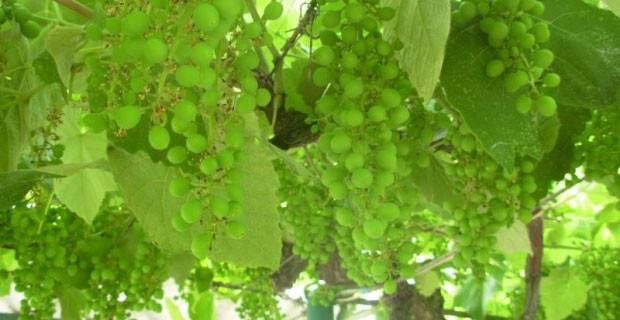 прививка винограда время
