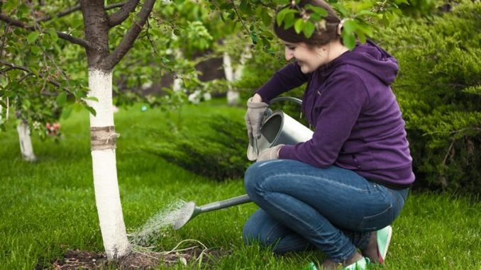 как посадить войлочную вишню весной