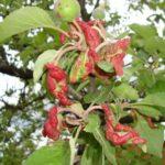краснеют листья яблони