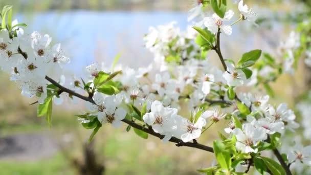 как правильно посадить саженец вишни весной