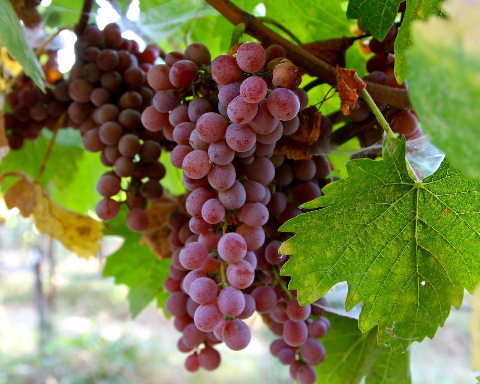 ярких фото винограда мускат розовый берегу