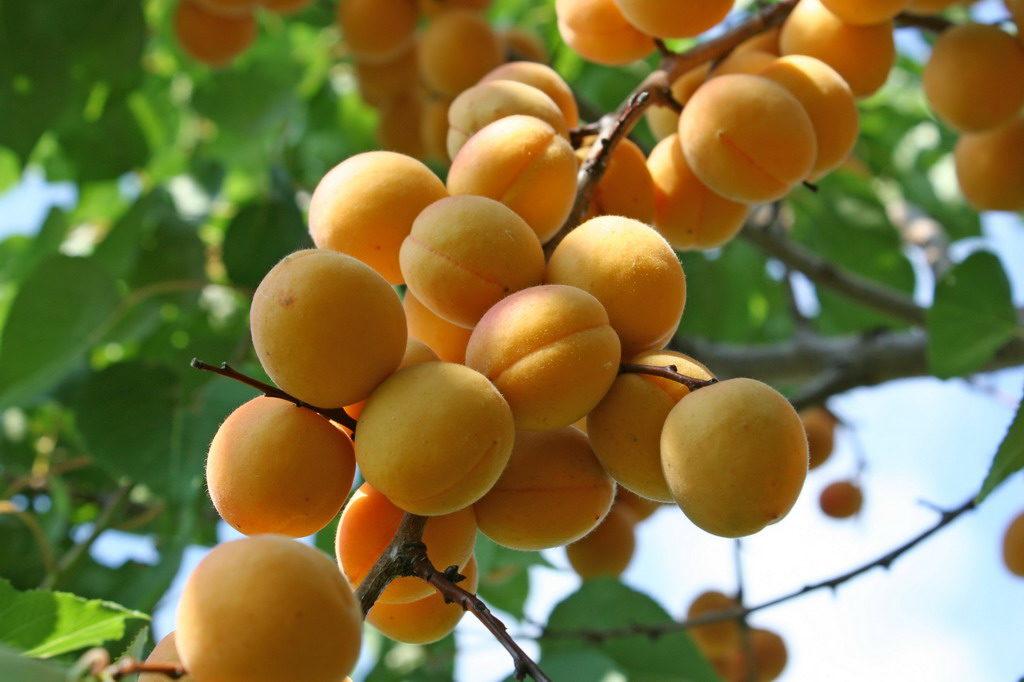 Как выглядит абрикос-Погремок