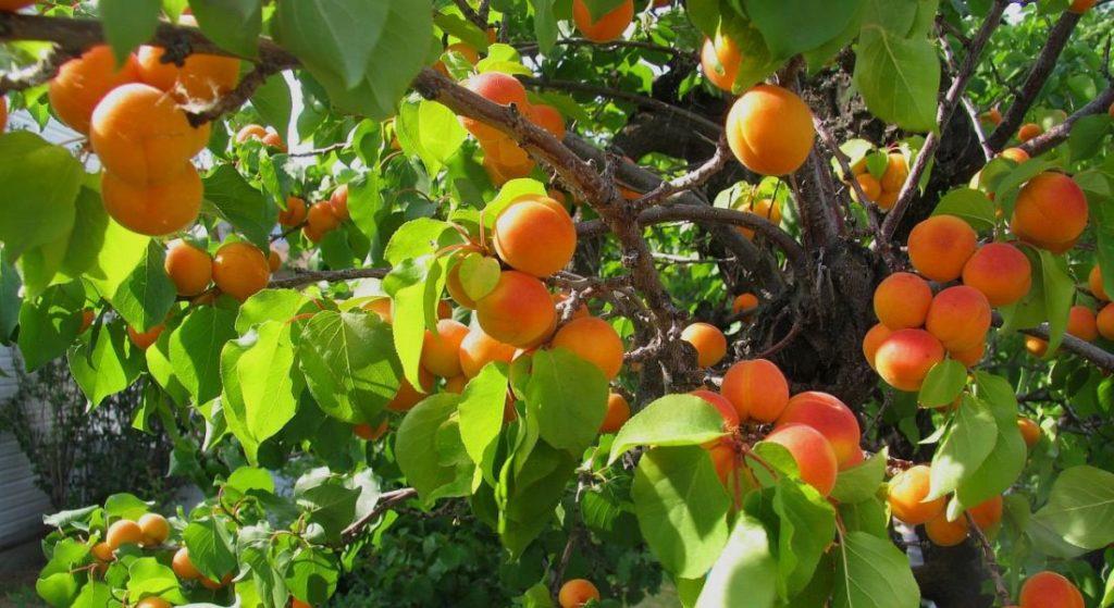 Урожайность сорта абрикоса Шалах