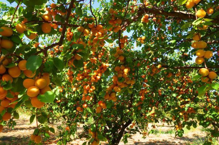 Разница персикового и абрикосового дерева