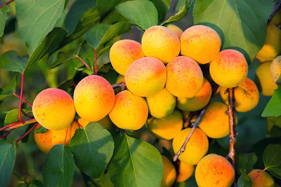 Как появились абрикосы