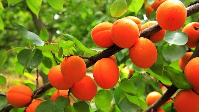Описание сорта абрикоса Алеша
