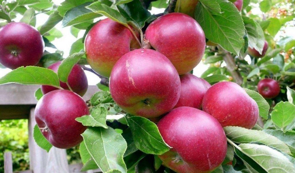 фото яблок Антей