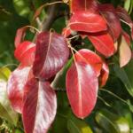 краснеют листья груши