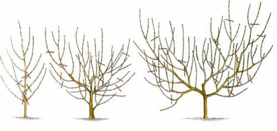 Формирование кроны персика