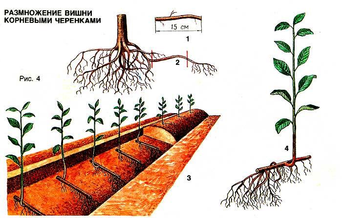 Как размножается вишня Морозовка