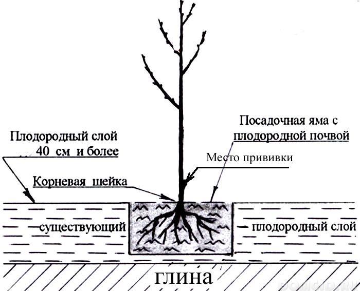 Как посадить черевишню