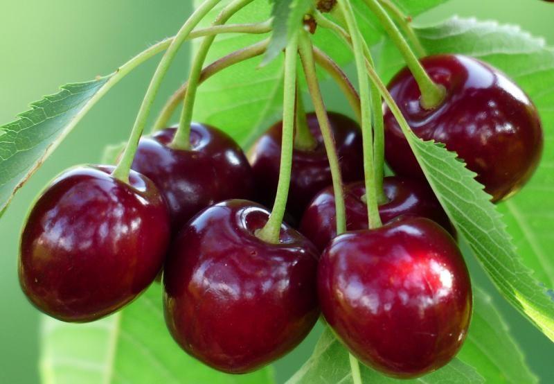 Сорта карликовой вишни