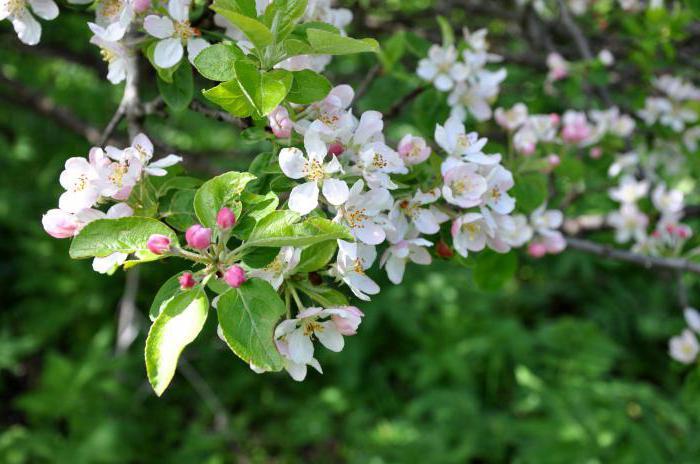 Цветение дикой яблони