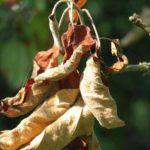сохнут листья яблони