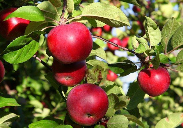 Яблоня Макинтош описание