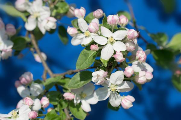 Цветущая яблоня дерево