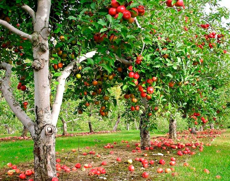 Фруктовые деревья -яблони