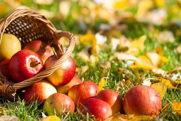 Как выглядит яблоня