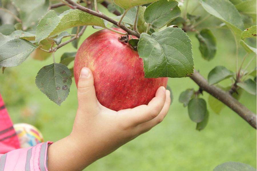 Как выглядит яблоня Конфетное