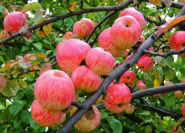 Описание сорта яблони Коричное полосатое