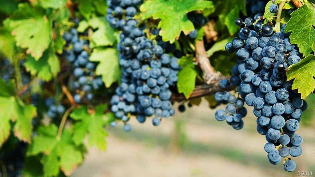 Кабрио топ для винограда