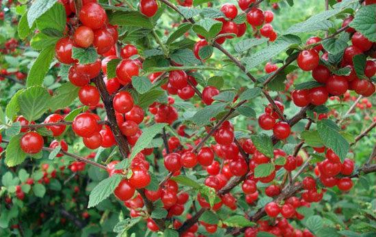 Карликовые вишни как выглядят