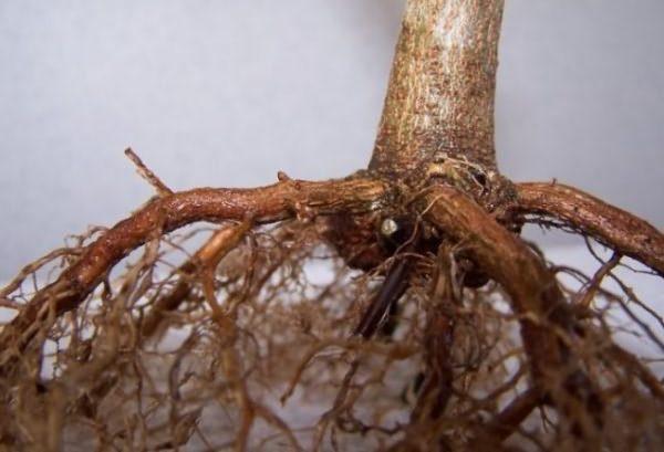 корень саженца яблони