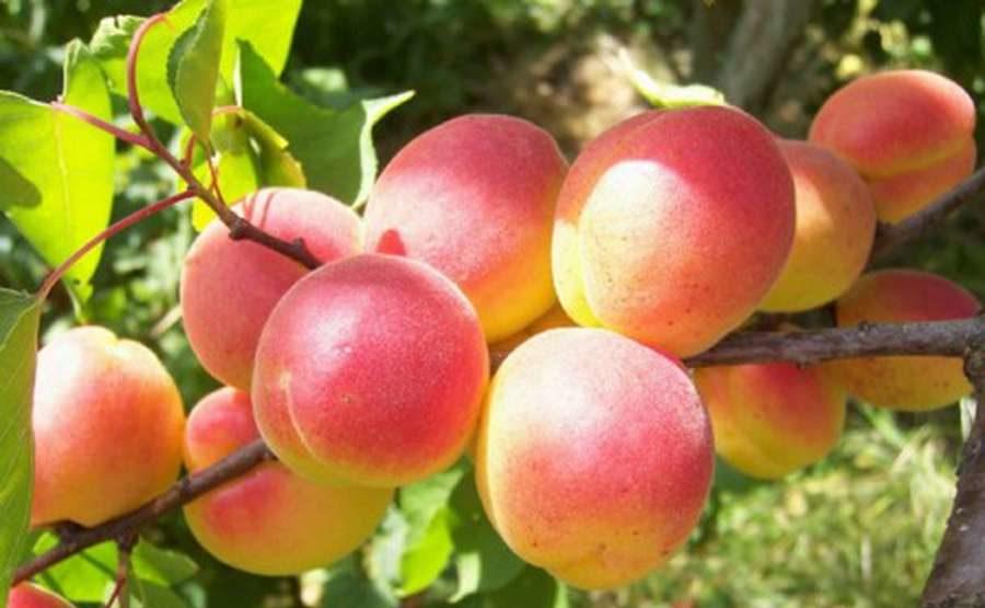 Сорта абрикоса для Урала