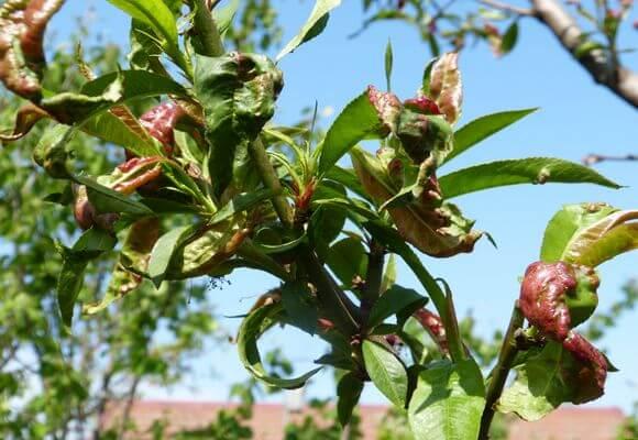 Борьба с болезнями персиков