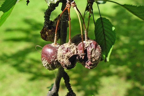 Борьба с болезнями вишни