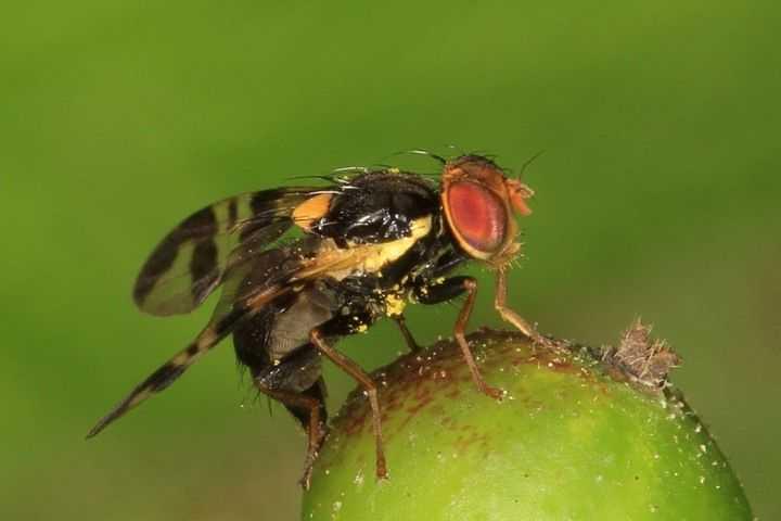 Как бороться с вишневой мухой на черешне