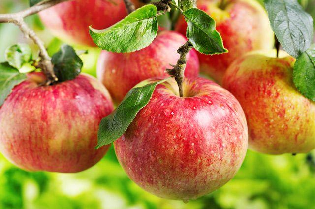 Плодовые деревья яблони