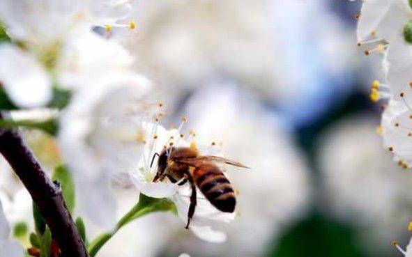 Опыление самобесплодного сорта вишни Ночка