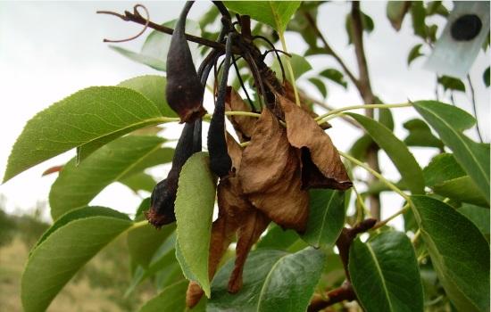 Болезни плодовых деревьев и кустарников