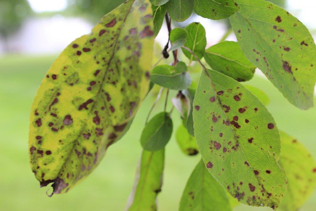 болезнь плодовых деревьев и кустарников