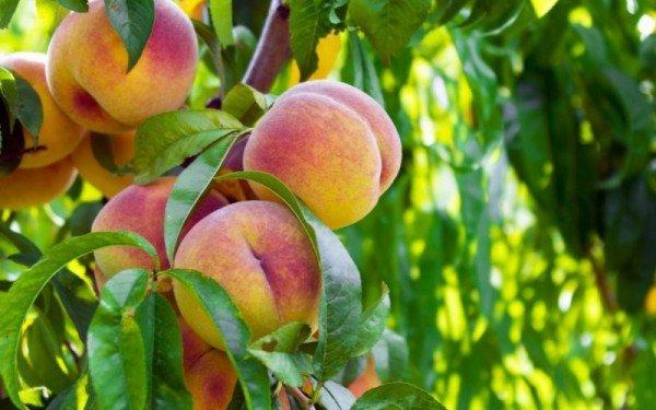 вырастить персик в горшке