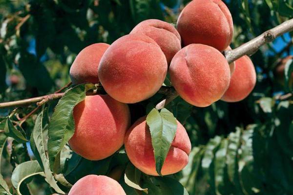 Как вылечить персик