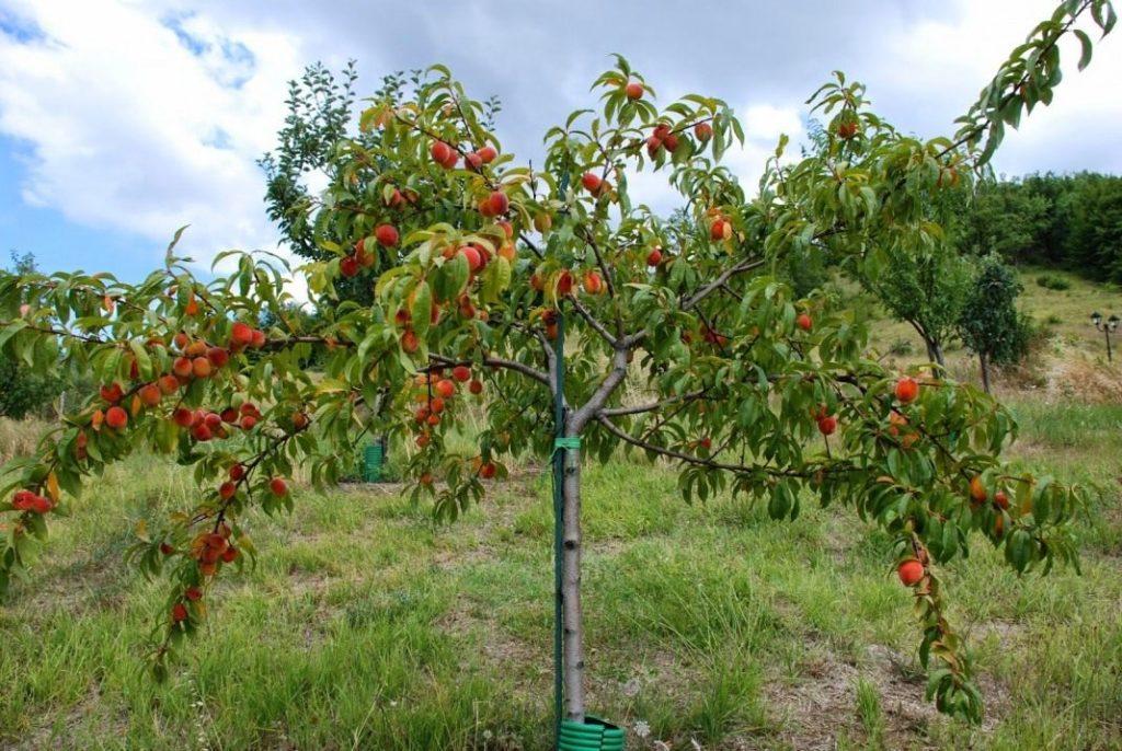 Разница деревьев персика и абрикоса