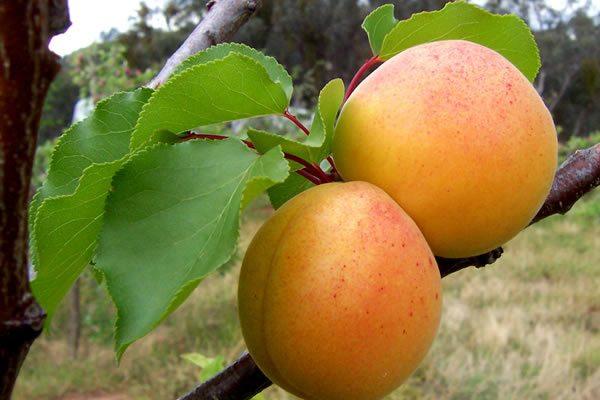 Описание плодов абрикоса Лель