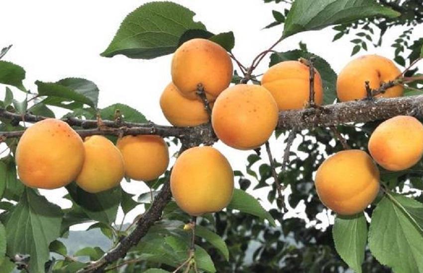 Как выглядит абрикос Маньчжурский