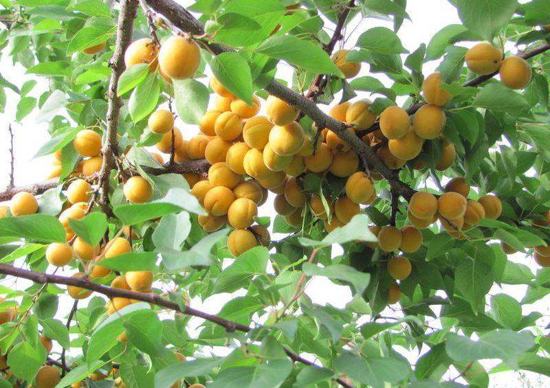 Крона абрикоса Погремок