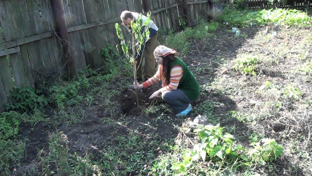 Как посадить абрикос Погремок