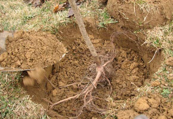 Как посадить грушу Северянка