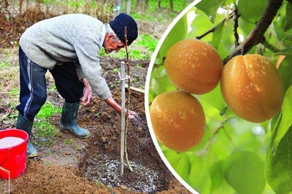 Как посадить абрикос на Урале